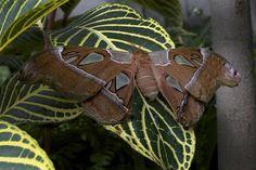 Papillon cobra (papillon de nuit) by relishmoutarde, via Flickr