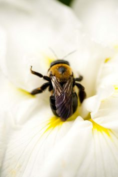 Busy Bee on an iris by NYBG, via Flickr