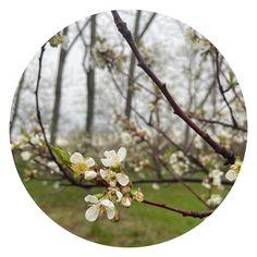 Montmorency Cherry, Cherry Blooms, Sandy Soil, Cherry Tart, Dried Cherries, Graceland, Harvest, Backyard, Patio