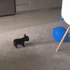 Puppy viciously attacks a balloon : aww