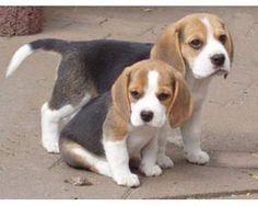 cachorros beagle - Buscar con Google