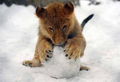 Baby lion plays with snowball by: Alexa Stankovic