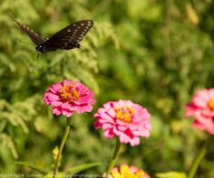 Flying Over Flowers. A Butterfly peruses a field of flowers looking for a place to land