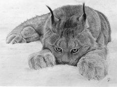 Blog de kofkof :Les crayons de Kofkof, Lynx sniffant la neige...
