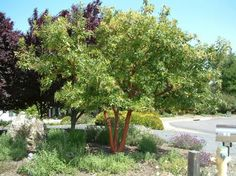 Arbutus 'Marina' - Strawberry Tree - Evergreen tree to screen view from street… Garden Solutions, Backyard Plants, Garden Trees, Plants, Screen Plants, Cool Plants, Arbutus Marina, Trees To Plant, Garden Planning