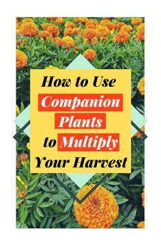 Want to multiply your plants and get bigger, better harvests? No need for chemical fertilizer, learn how to use companion plants to your advantage! Follow The Blossoming Gardener on Instagram @/theblossominggardener! #theblossominggardener #gardenblog #blog #gardening #growyourownfood #plants #gardeningforbeginners #marigold #companiongardening #companionplanting #urbangarden #balconygardening #sunflowers #tomato