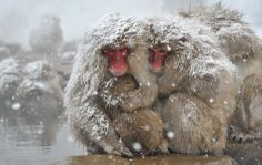 Two specimens of Japanese macaque in the park at Jigokudani in Yamanouchi, Japan