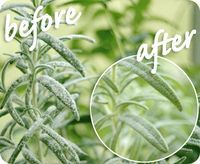 Combine: 1 teaspoon baking soda 1 quart water A few drops of liquid soap Combine in a large container and transfer some to a spray bottle. Spray the leaves of plants where powdery mildew can be seen, then repeat a week later. For best results, treat plants as soon as you notice the powdery mildew.