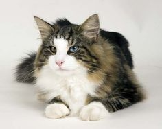 Norwegian Forest Cat with Different Colored Eyes