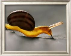 Land Snail, Monterey Bay, California Photographic Print by Frans Lanting at Art.com