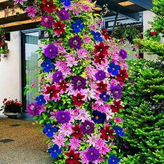 "Never thought to mix Clematis close together like that.-""Clematis are lovely bright colored climbing flowers that will light up any garden. They are ""friendly"" plants that grow well with others and grow upwards of feet."