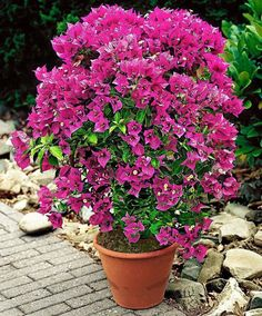 Bougainvillea - potted as annuals sadly are the only way these beauties grow in our region Tropical Flowers, Tropical Garden, Exotic Flowers, Tropical Plants, Bougainvillea, Container Plants, Container Gardening, Front Porch Flowers, Winter Plants
