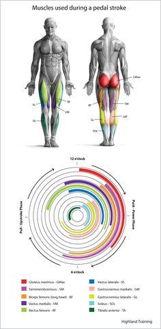 Muskeln die während des Radfahrens benutzt werden