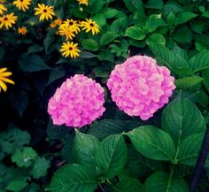 Sweetwater Style: Drying Hydrangeas for Lasting Beauty
