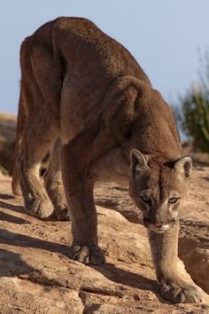 Mountain Lion, Puma or Cougar. - Photo by photographer Walter Nussbaumer