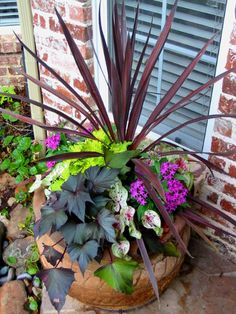 Red cordyline, lavender pentas, caladium Miss Muffet, sweet potato vine, lime coleus