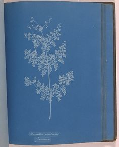 Cyanotype of the fern Davallia aculeata, from the album 'Cyanotypes of British and Foreign Ferns', made by Anna Atkins in 1853.