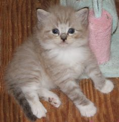 Stunning kittens and available for adoption at the end of July. Ragamuffin Kittens, Adoption, Cats, Animals, Foster Care Adoption, Gatos, Animales, Animaux, Animal