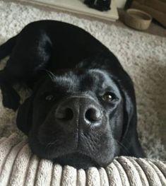 Brown Labrador, Black Lab Puppies, Funny Animals, Labrador Retriever, Labradors, Dog Stuff, Labs, Cute, Labrador Retrievers