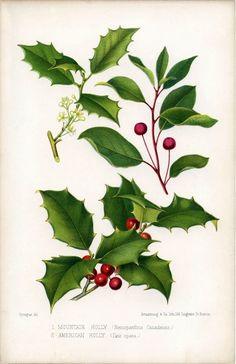 Holly featured on a vintage botanical illustration. www.mythologymagazine.com