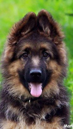 Wicked Training Your German Shepherd Dog Ideas. Mind Blowing Training Your German Shepherd Dog Ideas. Types Of German Shepherd, German Shepherd Puppies, German Shepherds, Cute Puppies, Cute Dogs, Dogs And Puppies, Doggies, Berger Malinois, Schaefer