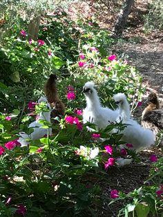My Garden/Bahçemden Habeş tavukları