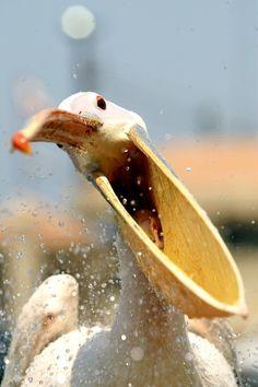 fairy-wren:    pink pelican  (photo via buzzfeed.com)