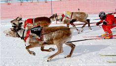 Reindeer Racing World Cup at the Easter Festival in Kautokeino, Northern Norway.