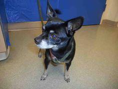 Chihuahua dog for Adoption in Pueblo, CO. ADN-604946 on PuppyFinder.com Gender: Male. Age: Senior