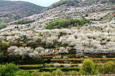 Arranca en el Valle del Jerte la floración del cerezo y con ello llegan las Fiestas del Cerezo en Flor que este año podremos disfrutar entre el 31 de marzo y el 8 de abril..   http://primaveraycerezoenflor.blogspot.com.es/p/cerezo-en-flor.html