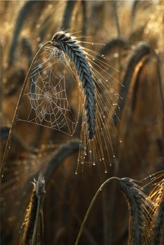 :maya47000:      〰 Wheat fields by Mia Morvan  Spider's Webs ❤️ great capture !!