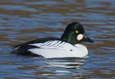 Amphibians, Mammals, Goldeneye Duck, Duck Mount, Scottish Animals, Bird Identification, Beautiful Birds, Farm Animals, Habitats