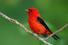 Scarlet Tanager Beautiful And Colorful Bird