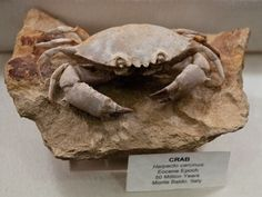 """Fossil: """"A crab found in Monte Baldo, Italy, has held his pose atop his small promontory since the Eocene Epoch (50 million years)."""""""