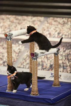 'Cat-leticism' on display at Hallmark's Kitten Summer Games