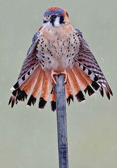 American Kestrel. Photo: Danny Hancock/Audubon Photography Awards. #birdwatching