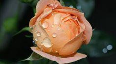 #1918147, HD Widescreen rose pic