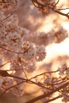 Under a Sakura Tree