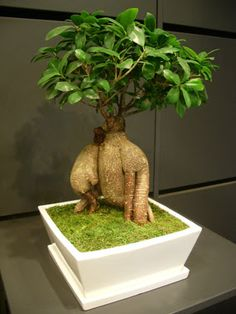 novit paganopiante bonsai ficus ginseng 1000 gr sydney d. Black Bedroom Furniture Sets. Home Design Ideas