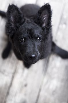 Hungarian mudi, the one breed of dog that i  dream of owning... but cant cause there aren't any in Australia!