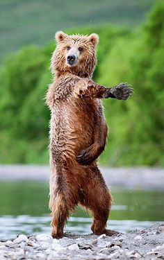 """This is how you do the bear boogie.""   #bears #animals"