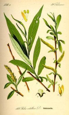 Information on the Side Effects and Health Benefits of the Herb White Willow Bark (Salix alba) and Its Traditional Uses and Medical Properties Healing Herbs, Medicinal Plants, Natural Healing, Natural Cures, Willow Bark, Willow Tree, Illustration Botanique, Botanical Illustration, Botanical Art