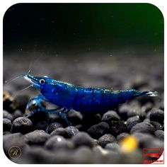 Topaz Blue Nano Aquarium, Planted Aquarium, Aquarium Fish, Blue Shrimp, Bubba Gump Shrimp, Betta Fish Types, Otters Cute, Cute Fish, Topas