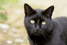 Black cat with green eyes portrait