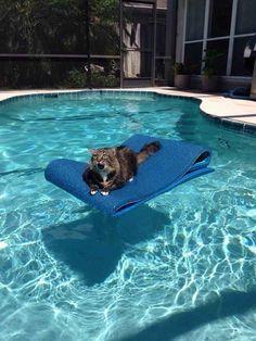 Este gato que percebeu que está ilhado no meio da piscina sem ter para onde ir.