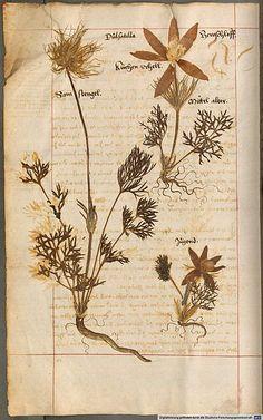 Page from Herbarium vivum (c1600)by Hieronymus Harder (1523-1607).  http://dfg-viewer.de/show/?set.  Wikimedia
