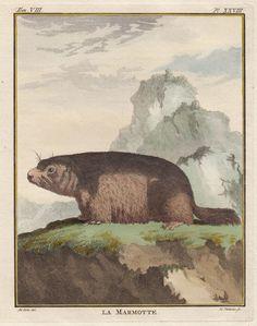 """""""La Marmotte"""" - Murmeltier - Groudhog - Marmot, Georges-Louis Leclerc de Buffon, 1776 """"Histoire Naturelle"""""""