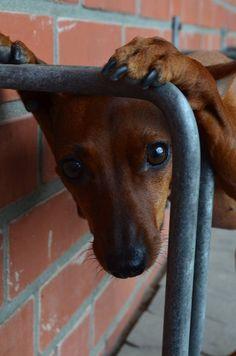 min pin - peek-a-boo Mini Pinscher, Miniature Pinscher, Doberman Pinscher, Prager Rattler, Min Pin Dogs, Cute Puppies, Cute Dogs, Pincher Dog, Doggy Clothes