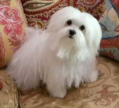 Something to aspire too Animals And Pets, Baby Animals, Cute Animals, Pet Dogs, Dogs And Puppies, Doggies, White Puppies, Malteser, Teacup Puppies