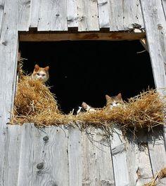 Barn kitties...